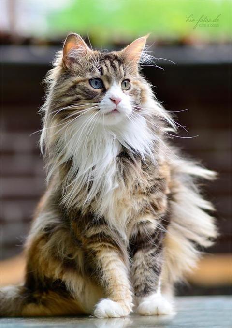 fluffy calico cat - photo #7