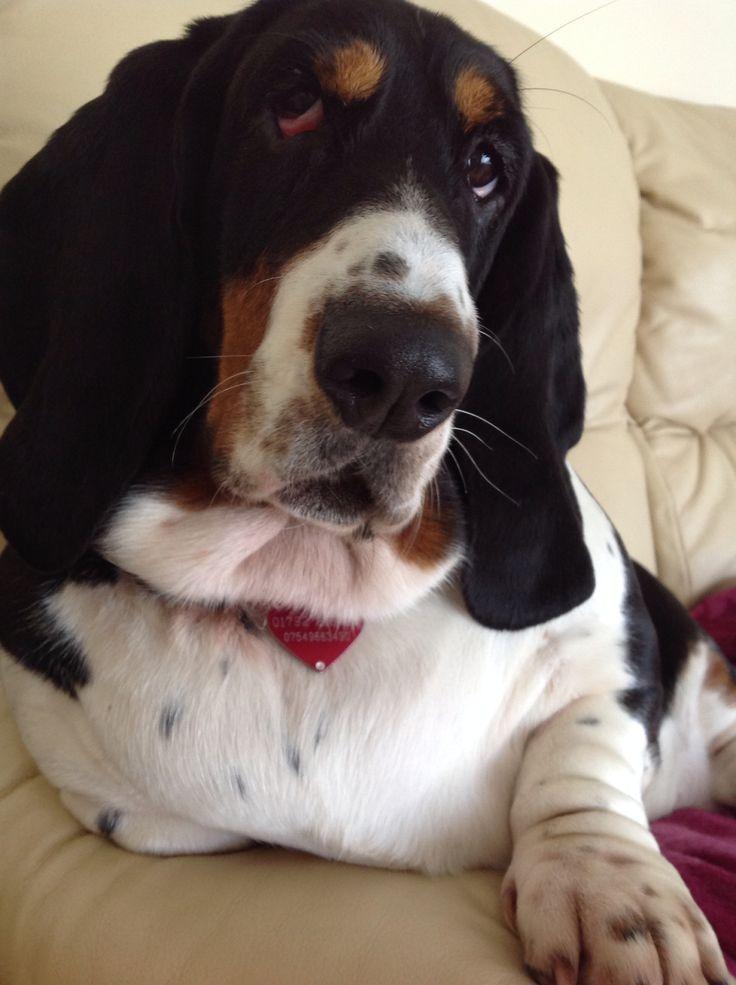 Beautiful girl basset hound dogs animals