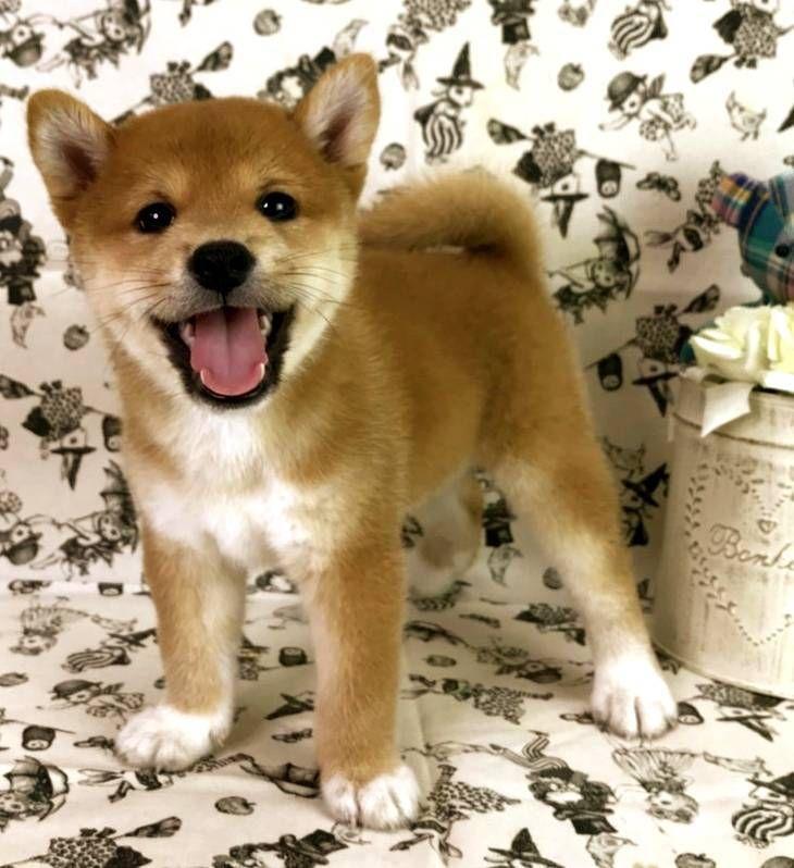 Shiba Inu Puppy For Sale In San Francisco Ca Usa Adn 100044 On Puppyfinder Com Gender Female Age 6 Weeks Old Nickn Shiba Inu Super Cute Puppies