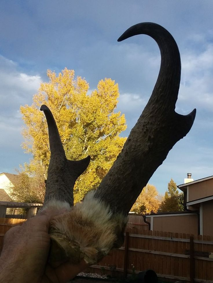 Large set Pronghorn Antelope Horns/Mount/Skull/Taxidermy Cabin Decor