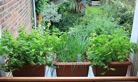 Ten of the best herbs to grow in containers | Life and style | The Guardian