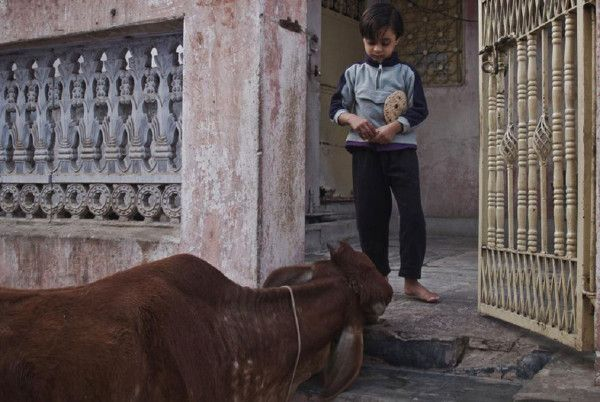 Young boy offering a chapati to a holy cow, Pushkar, Rajasthan, India © Valérian Mazataud