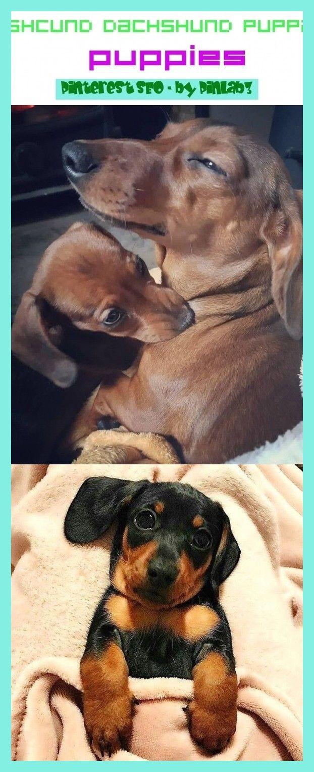 Dashcund dachshund puppies dashcund dachshund puppies