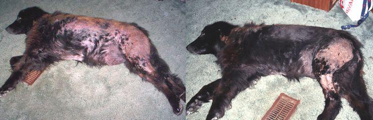 Dog Malassezia Natural Treatment