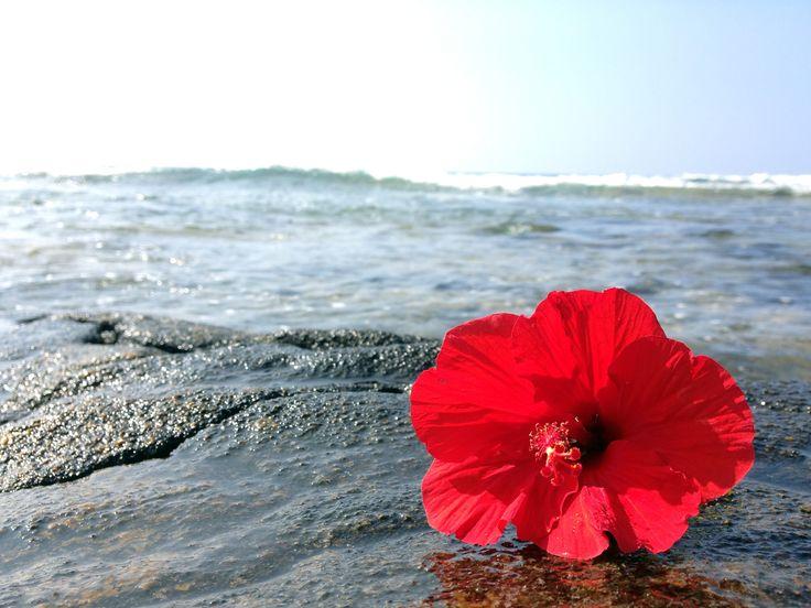 Ulaula Aloalo Red Hibiscus HI State Flower