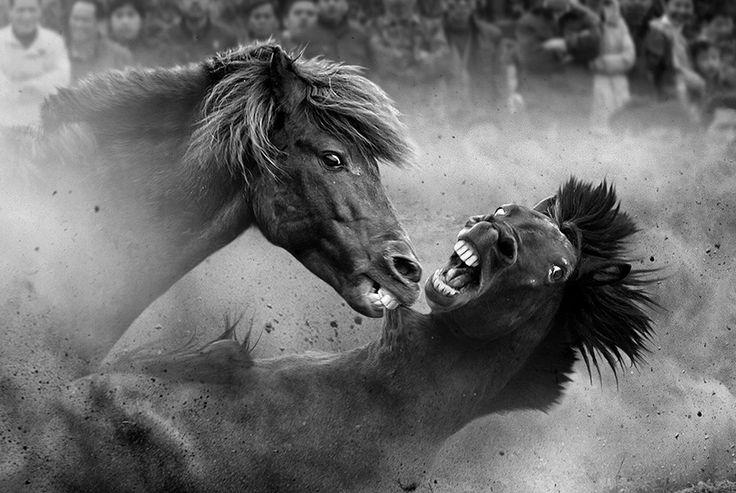 Боевые кони. Ронгшуй, провинция Гуйчжоу, Китай, 2011 (Фото: Joseph Tam) конкурс Siena International Photo Award (SIPA), факты, фото