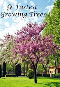 9 Fastest growing trees: 1 Empress Tree. It grows 10-15 feet per year. 2 Willow Tree: 6-12 fpy. 3 Lombardy Poplar. Grows 8-10 fpy. 4 Eucalyptus tree grows 6-8 fpy 5 American Sycamore grows 6 fpy. 6 Quaking Aspen grow about 5 fpy. 7 Muskogee Crape Myrtle grows 4-5 fpy. 8. October Maple grows 3-5 feet per year. 9. Autumn Purple Ash grows 3-5 feet p y.