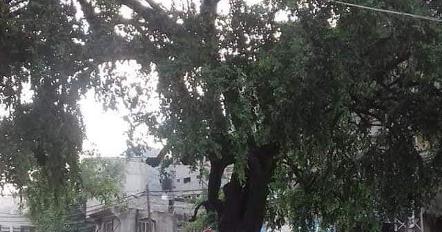 غزه السدرة Tree Outdoor Plants