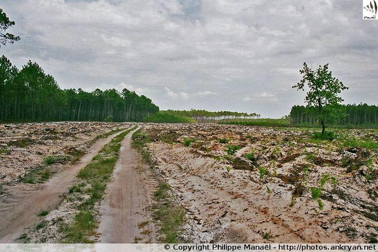 Paysage désertique landais, à proximité du village Pissos (Aquitaine, Landes)