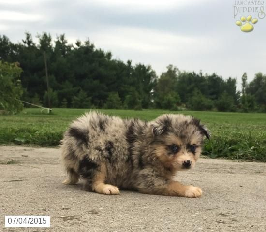 Pomsky Puppy for Sale in Iowa animals Pinterest For