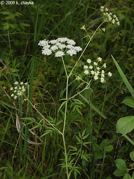 Cicuta maculata (Water Hemlock): Cicuta maculata (Water Hemlock): stems may have purple spots, but leaves are not lacy. Highly toxic to humans and livestock.
