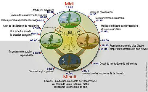 Rythme circadien — Wikipédia