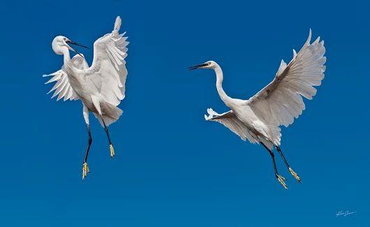 Czaple - zdjęcie Kaśka Sikora   #birdphotography  #birdsgallery     #herons #czaple #KaskaSikora   #KatarzynaSikora #Sikora #Sikorafotograf #KaśkaSikora #FotografWarszawa  #wystawyfotografii