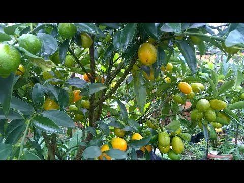como fazer plantar cuidar frutas pomar horta jardim em vasos caseiro - YouTube