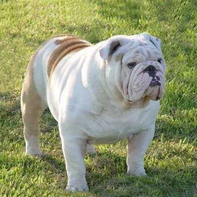 English Bull Dog