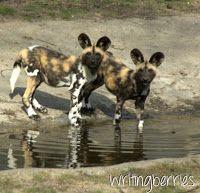 De Wilde Honden uit #Safaripark Beekse Bergen vormden de introductie van een inspirerende middag over deze bijzondere Painted Dogs http://writingberries.blogspot.nl/2014/03/uniek-familiedier-de-wilde-hond.html