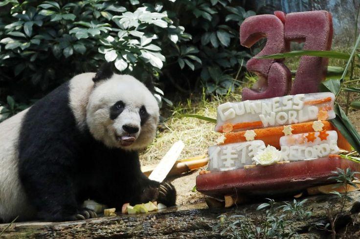 Jia Jia, cea mai bătrână ursoaică pandacare trăiește în captivitate,conform Guiness Book,a împlinit 37 de ani și a primit un tort din bambus cu legume, laOcean Park, în Hong Kong. FOTO AP/ Kin Cheung