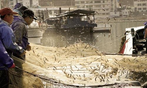 포구의 봄, 멸치가 춤춘다 http://bit.ly/Jl7aaj 인근 연안에서 갓 잡아온 멸치를 후리느라 어부와 항구, 하늘이 온통 은빛입니다.