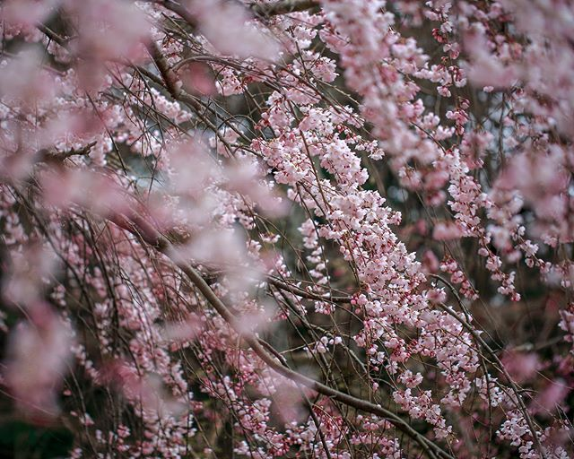 Ah If In This World There Were No Such Thing As Cherry Blossoms Perhaps Then In Springtime Our Hearts Would Be At Peace Photo Cherry Blossom Tree Instagram
