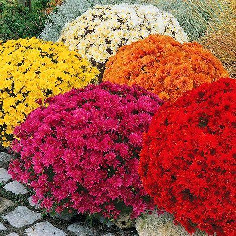 Oferta unids bolsa 100 suelo cubierta de crisantemo for Planta perenne en maceta de invierno