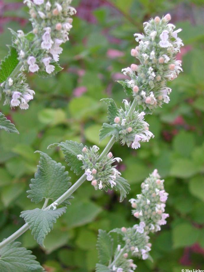 Kattmynta, Nepeta Cataria. Perenn. Placeras soligt. Blir ca 50 cm. Blommar/skördas juni-sept. Sås inomhus i jan-maj under tunt lager perlite, eller vinterså i plastback ute.
