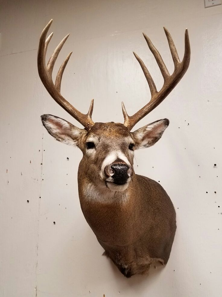 Whitetail deer mount, taxidermy done by the Mad Taxidermist: Rob Reysen www.lakeviewtaxidermy.com