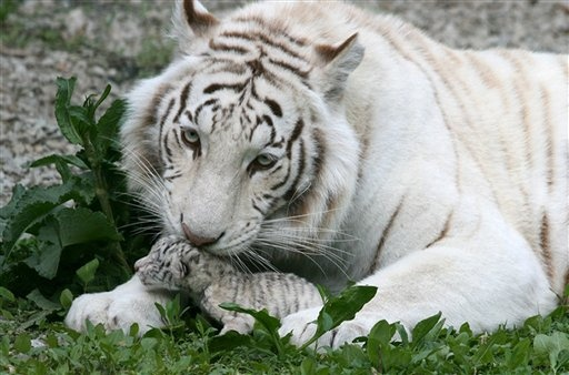 Ukraine - Baby tigers  It's crazy how much smaller baby is than Mom!: Big Cat, White Tigers, Newborns Baby, Beautiful Animal, Animal Kingdom, Panthera Tigri, Bengal Tiger, Baby Tigers, Stunning Images