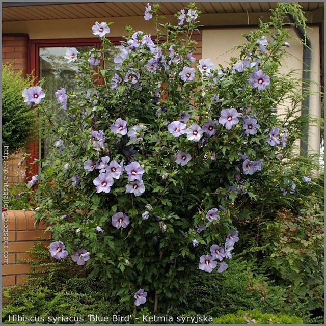 blue hibiscus plant | ... Roślin: Hibiscus syriacus 'Blue Bird' - Ketmia syryjska 'Blue Bird