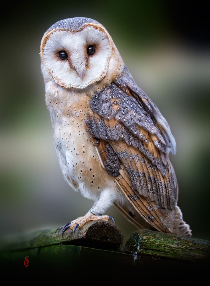 Photo Barn Owl (Tyto alba) by Jean-Claude Sch. on 500px