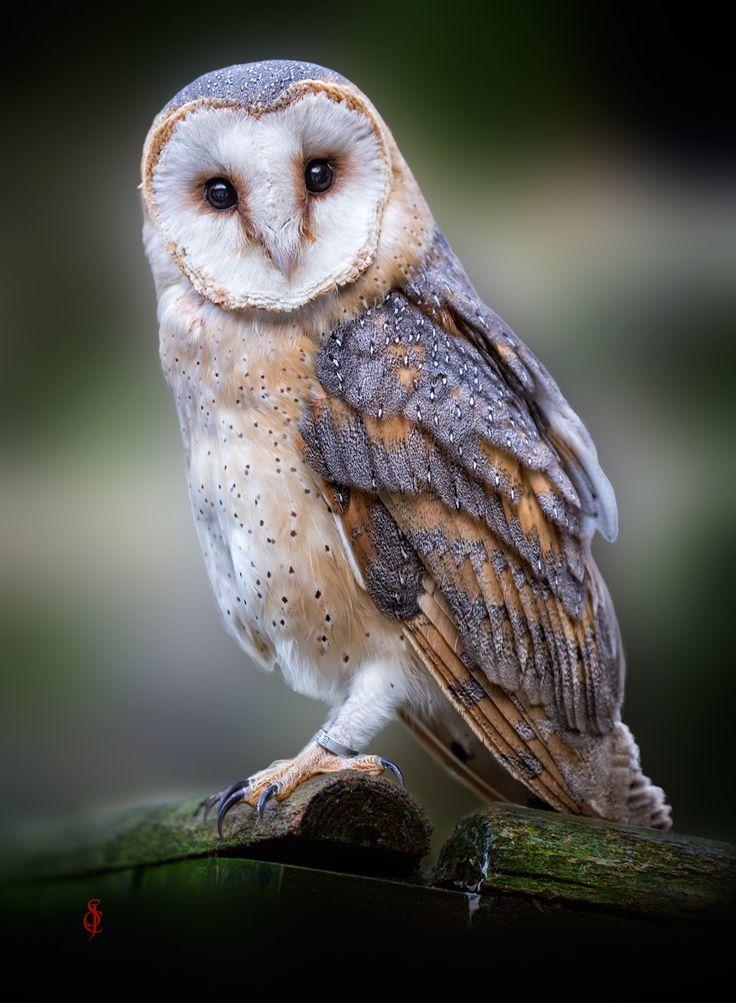Best 25+ Barn owls ideas on Pinterest | Owls, Beautiful ...