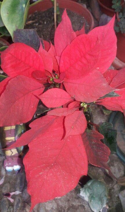 """"""" Flor de Pascua, Poinsetia, Estrella Federal, Pascuero, Poinsettia, Estrella de Navidad -- Euphorbia pulcherrima """" - Luz : La Flor de Pascua necesita mucha luz cuando está en flor, por ejemplo, cerca de una ventana. En otoño, invierno y primavera, no importa que le dé el sol directamente porque no es muy fuerte, en verano hay que protegerla del sol directo. - Humedad : Este punto es clave. Si el ambiente es seco, las hojas se caen. Odia la calefacción fuerte. En casa ubicar sobre una capa…"""