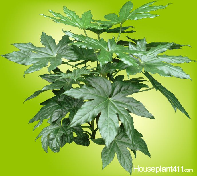 Unusual fatsia houseplants are compact upright plants Weird plants to grow indoors