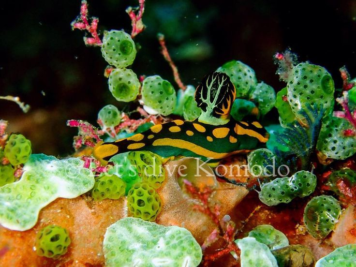 Another #nudibranch to add to the list - Tambja gabrielae. So many species, yet plenty to discover. Double tap if you share the interest for these little ones!  #Letsdivekomodo #Komodo #Labuanbajo #Indonesia #colorful #beautiful #nudie #macro #macrophotography #underwater #photography #underwaterphotography #scuba #diving #explore #ocean #sea #coral #reef #travel #holiday #liveaboard #wanderlust #livetoscuba #instadaily #photooftheday #instadive #exploreindonesia #exploremore