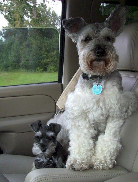 Miniature Schnauzers Best.dogs.ever.