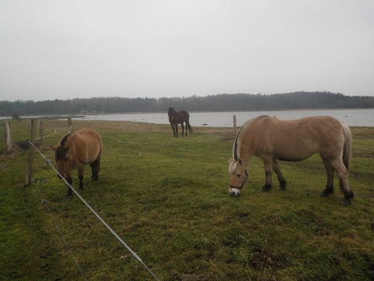 Kajakgal - Sjælland
