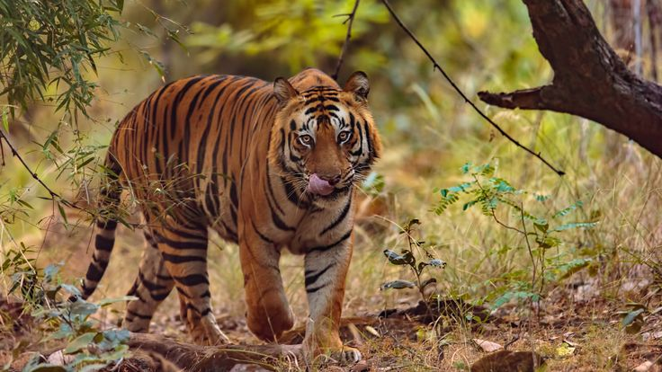 "Bandhavgarh Tiger ""Munga"" - Spotted in the Tala zone of Bandhavgarh tiger reserve. This massive male tiger was on his rounds of the forest and roared every few minutes to attract the attention of nearby female tigers."