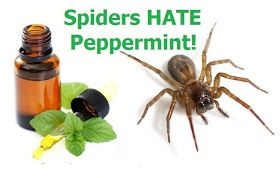 How To Keep Spiders Out Of Your Home Using Peppermint Oil - apparently also works for mice trying to sneak into your home for the winter.
