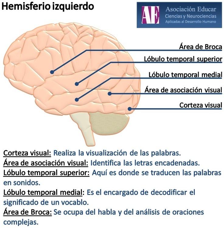 Ilustracion Neurociencias: Hemisferio Izquierdo - Asociación Educar Ciencias y Neurociencias aplicadas al Desarrollo Humano www.asociacioneducar.com