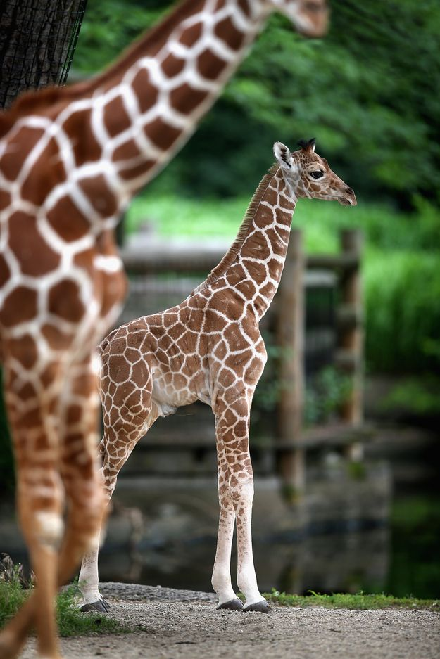 JK, baby giraffes aren't really impressed by anything. | Let's Celebrate The Four-Day Weekend With Baby Giraffes