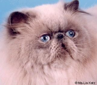Himalayan Cat Colors : Pictures of Chocolate and Lilac Cats Colors