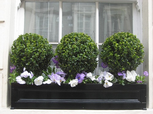 boxwoods in a window box... love!