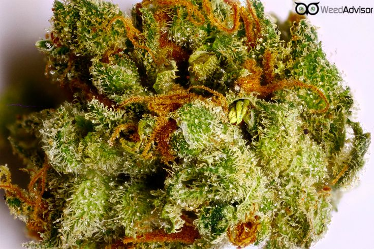 #Bubblegum #Kush has a sour smell and flavor, and with a #THC content in the 18% range, this #indica will leave users fully relaxed and glued to the couch.  weedadvisor.com