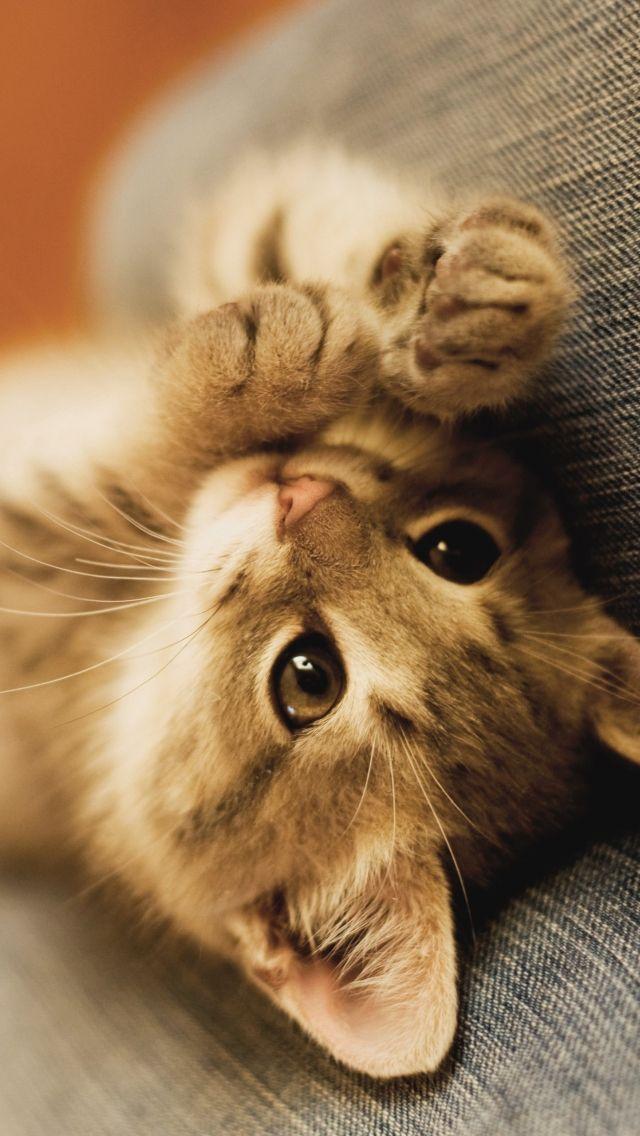 iPhone 5 Wallpaper: Kitten