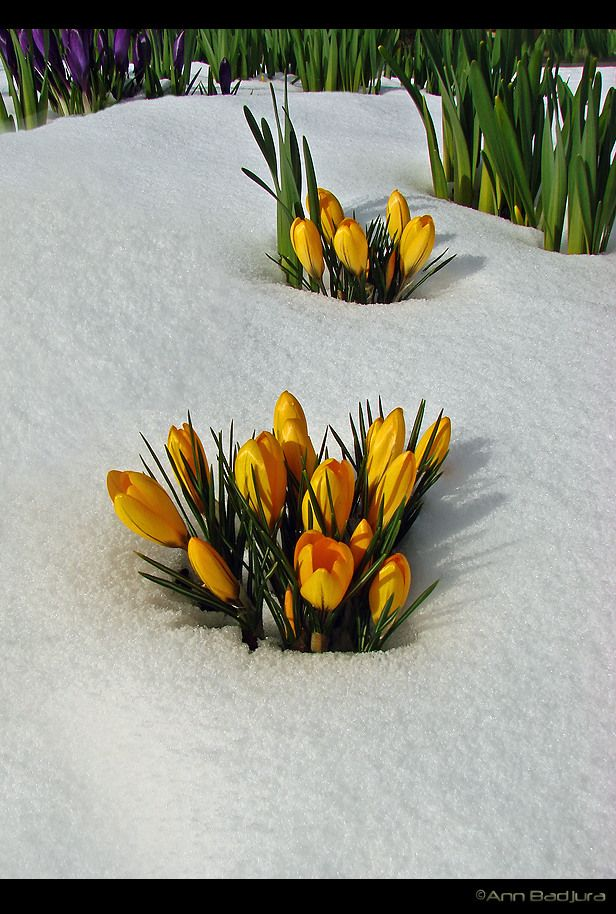 Lucky timing, beautiful yellow crocus flowers popping out of the snow after a rare snow fall in the beginning of March...taken by myself - ©Ann Badjura