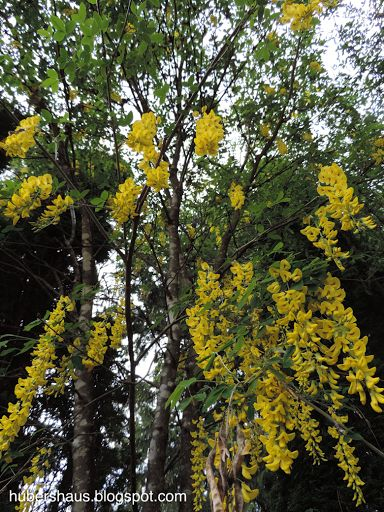 Victorian Garden Gate Manor: Laburnum Tree, Golden Chain Tree this tree is truly an eye catcher it can grow up to 15 ft. In height and can be used as a shade tree