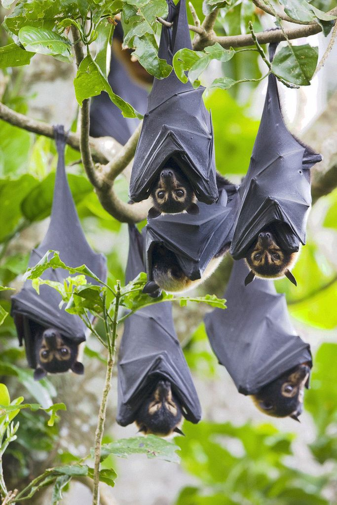 Bruce Thomson| Spectacled Flying Foxes, Pteropus conspicillatus, Australia | in their daytime roost (camp) in the Tolga Scrub near Atherton, Queensland, endangered species (vulnerable)