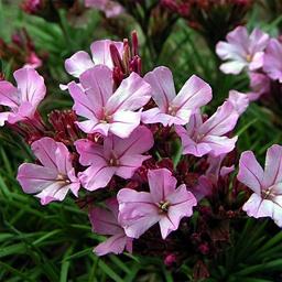 Acantholimon glumaceum -- I always love the combination of spiny foliage and delicate, lovely flowers.