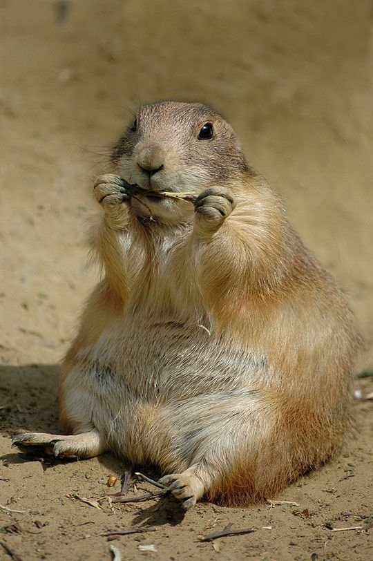 :): Prairie Dogs, Spirit Animal, Cheat Meal, Squirrels, Dogs Cat, Fat Animal, Wildlife, Life Photography, Low Fat Diet