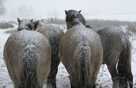These horses live in Weurt-Beuningen-Ewijk near the Waal in Holland. They are called Koniks and handle the cold very well.