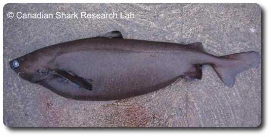Portuguese Dogfish Shark: http://www.sharksider.com/portuguese-dogfish-shark/